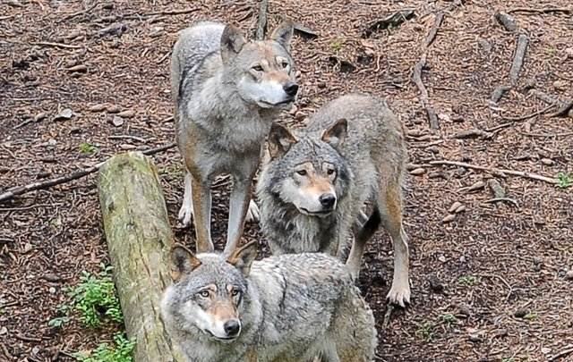 Swedish wildlife park to put down all its wolves
