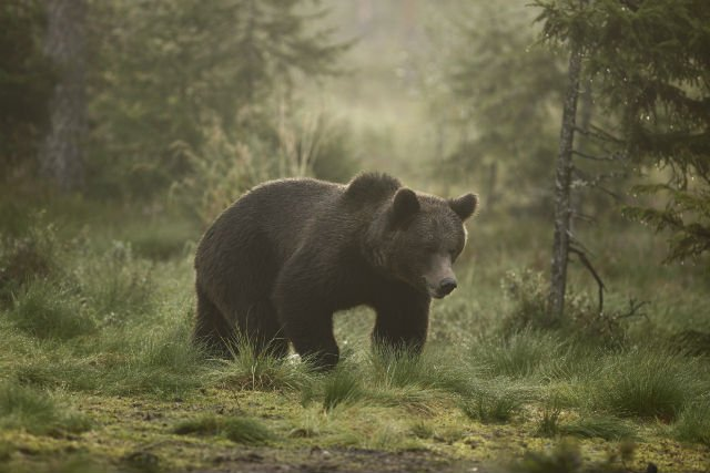Swedish couple film bear attacking full-grown elk