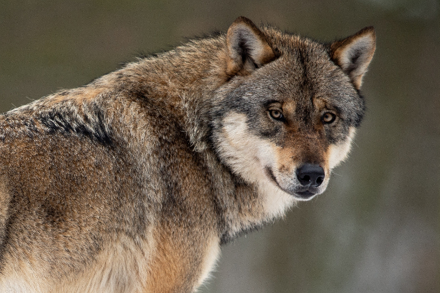 Who's a good boy? Wolves, not dogs, according to this Austrian study