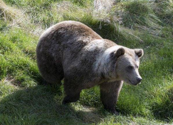 Swedish hunters shoot nearly 50 bears as annual hunt begins