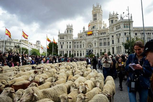 Shepherds herd 2,000-strong flock through central Madrid