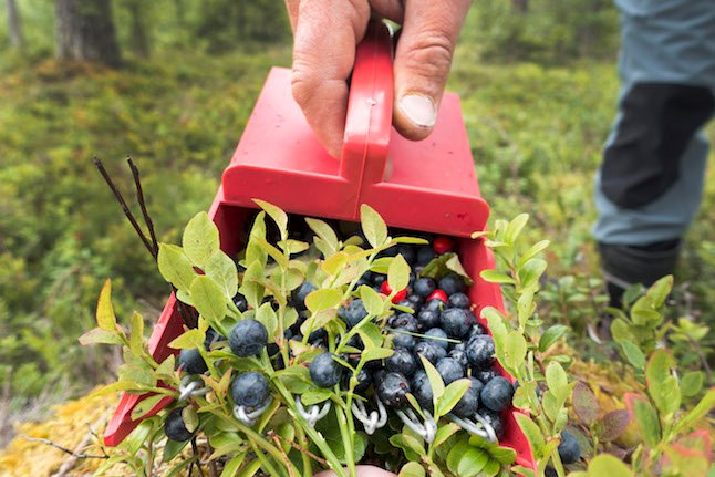 Why it's Sweden's best year for bilberries in decades – but no one's around to pick them