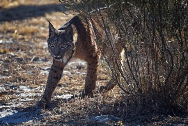 How Spain is helping the Iberian lynx to clack back from the brink of extinction