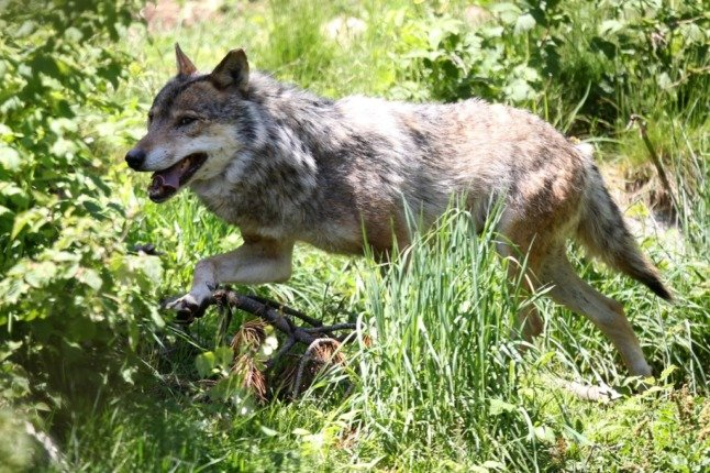 OPINION: 24 years after I first reported on wolves in France, they are at my door in Normandy