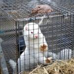 Will Denmark see the return of mink farmsin 2022?