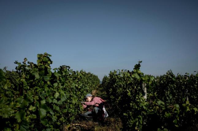 Bad weather halves wine harvest in France's Burgundy vineyards